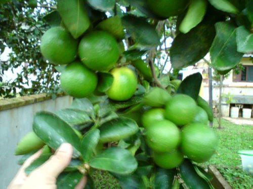 Limão azedo